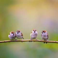 Wall Mural - square background with small funny Sparrow Chicks sitting on the ground a branch in a summer Sunny garden and chirp merrily