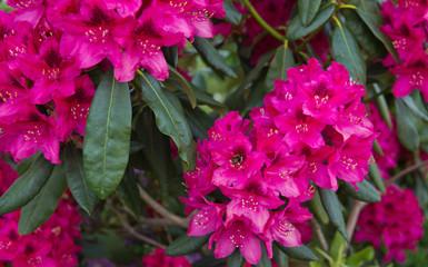 Red Azaleas flowers in the garden.Spring background.