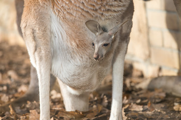 Photo sur Toile Kangaroo A small kangaroo looking out of its mother's belly on a sunny day