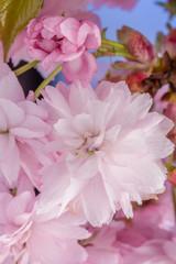 Obraz Różowe kwiaty wiśni japońskiej - fototapety do salonu