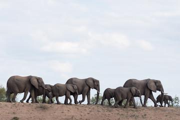 Elephant herd, elephant family in the wilderness Wall mural