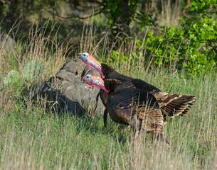 Male Turkeys in the Wichita Mountains