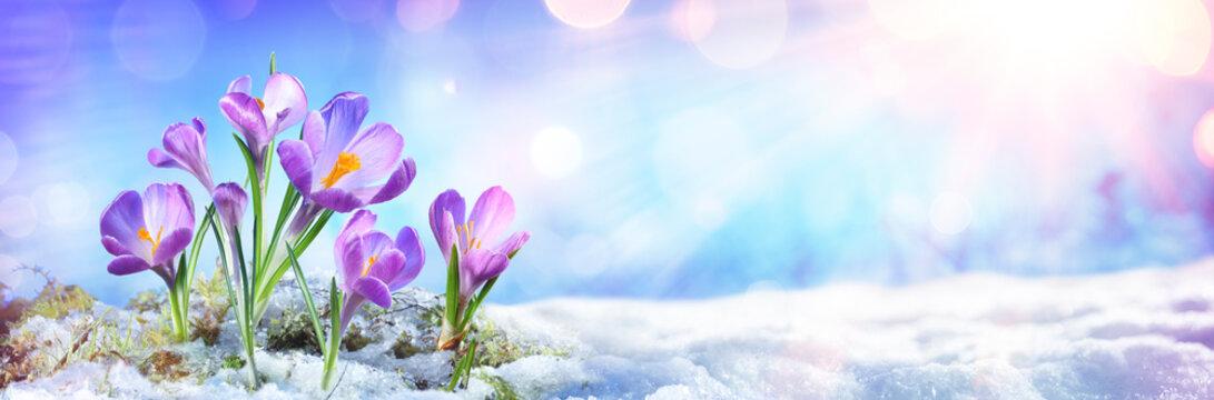 Crocus Flowers Grow In Melt Snow