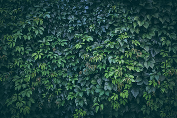 Green plant leaves background, foliage wall, toned