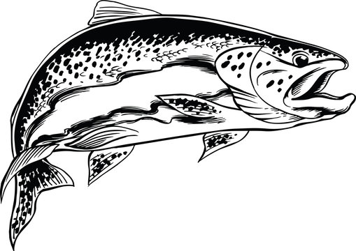 Steelhead Trout Vector Illustration