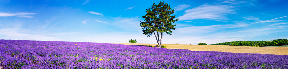 Foto op Plexiglas Lavendel LAVENDER IN SOUTH OF FRANCE