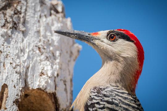 West Indian Woodpecker - Melanerpes superciliaris - Closeup