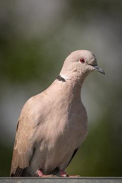 Eurasian collared dove  - Streptopelia decaocto - Closeup