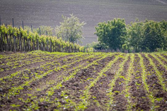 Freshly Cleaned Cornfield Next To A Vineyard