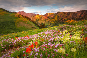 Abion Basin wildflowers at Alta, Utah, USA.