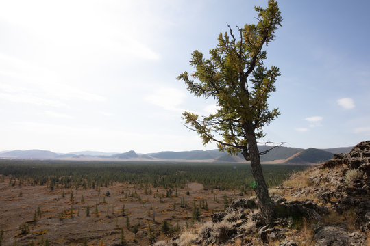 A single barre tree and stony ground near the extinct volcano Khorgo . The barren but beautiful landscape of central  Mongolia in Autumn under Blue sky with white clouds. dying tree on volcano soil