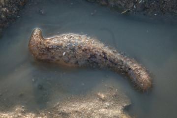 Exotic transparent sea cucumber during low tide