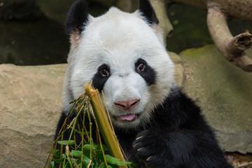 Panda Bear Eating Bamboo Portrait