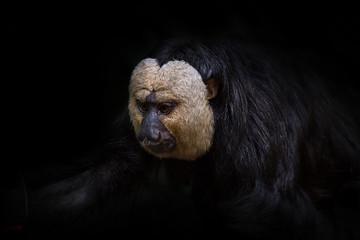White-Faced Saki Monkey Black Background