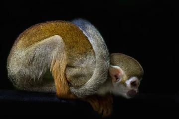 Squirrel Monkey Crouching on Tree Branch