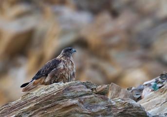 Upland Buzzard, Buteo hemilasius, Tsokar Lake, Ladakh, India