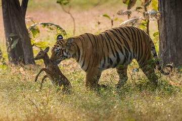 Tiger Maya with stag Kill, Panthera tigris, Tadoba, India,