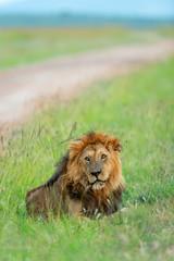 Male lion sitting next to safari track at Masaimara, Kenya, Africa