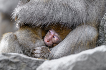 Foto op Canvas Aap Japanese snow monkey baby cuddling with mother