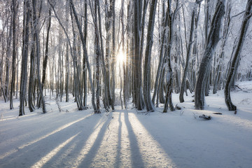 Forest in Winter with frozen trees