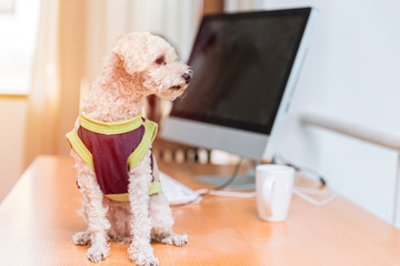cute wearing clothes poodle dog sitting at the computer office desk