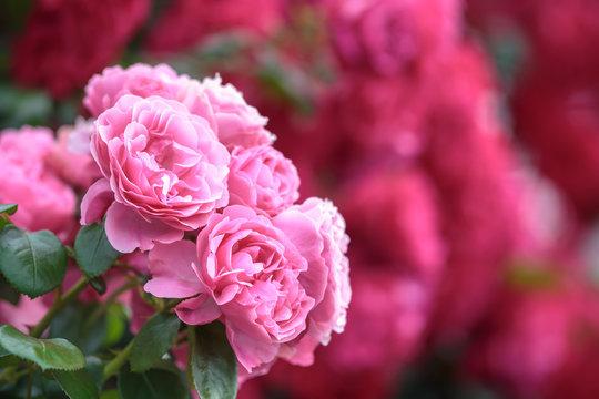 バラの花 初夏イメージ