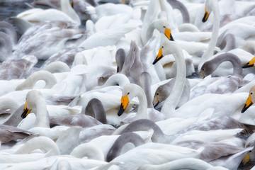 A flock of Whooper swan and ducks wintering on the thermal lake Svetloe (Lebedinoe), Altai Territory, Russia