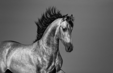 Wall Mural - Black and white Andalusian horse in motion.