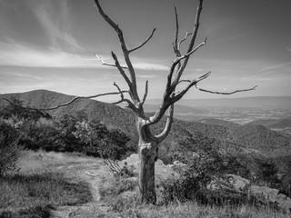 Dead Tree Shenandoah