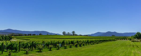 Panoramic image of the Yarra Valley vineyards in Victoria, Australia.