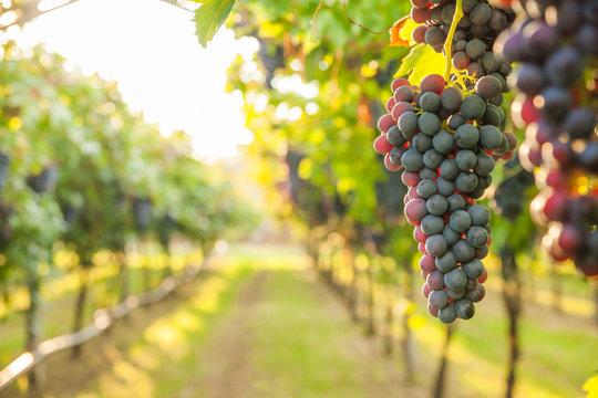 grape harvest Italy