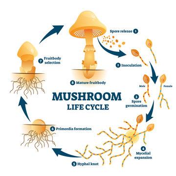 Mushroom anatomy life cycle stages diagram