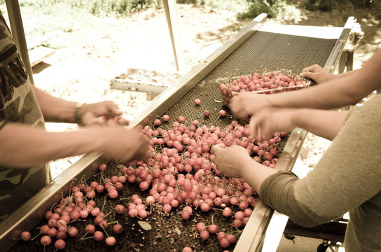 Package sweet cherries into plastic box container on conveyor belt line at cherry orchards