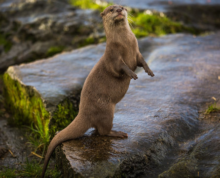 Majestic photograph of a wild otter on a rock doing strange movements with one foot or paw up in the air doing flips and stretches next to the water after going for a swim and shaking the water off