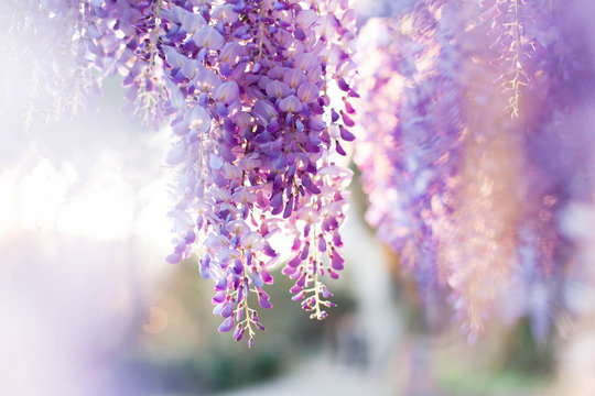 Wisteria flowers are blooming in sunset garden. Beautiful wisteria trellis blossom in spring. Chinese and Japanese park.