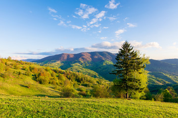 wonderful rural landscape in mountains at sunset. trees on the meadow in green grass in evening light. fluffy clouds on the blue sky. wonderful springtime scenery in evening light