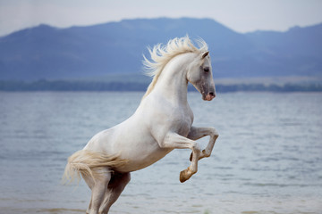 Foto op Canvas Paarden White Arabian horse standing on back legs on beach with lake on background
