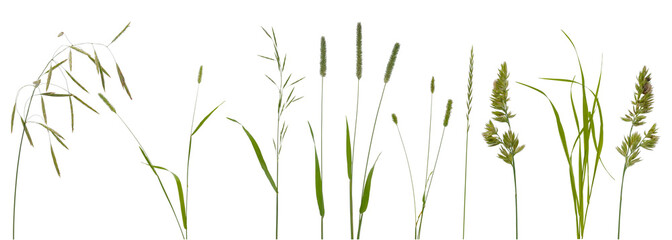 Few stalks and inflorescences of various meadow grass at various angles on white background
