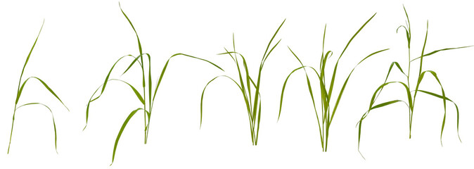 Few stalks and leaves of meadow grass at various angles on white background Fotomurales
