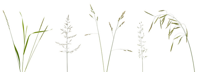 Foto auf AluDibond Gras Few stalks, leaves and inflorescences of meadow grass at various angles on white background