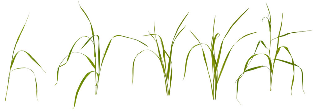 Few stalks and leaves of meadow grass at various angles on white background