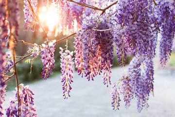 Fotomurales - Wisteria flowers are blooming in sunset street. Beautiful wisteria trellis blossom in spring garden. Chinese park.