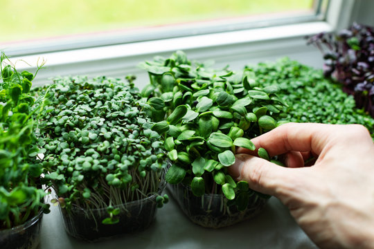 kitchen garden - microgreens growing on windowsill