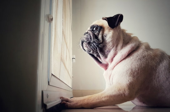 A cute pug dog puppy is sit and waiting owner bring to play outside at the door
