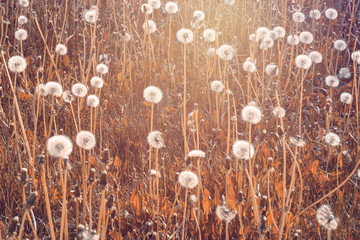 Dandelion field in red and orange sunset colors. Background image with copy space for text.