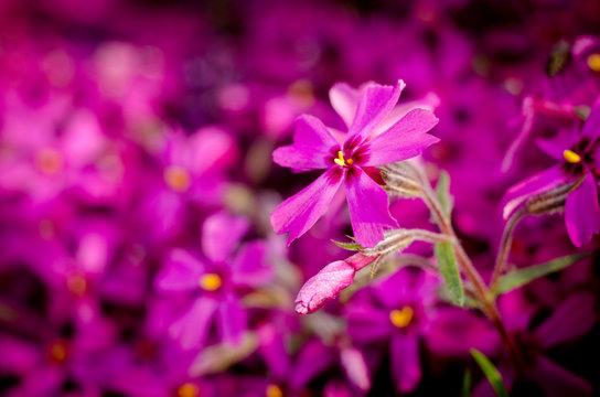 Beautiful bright purple phlox subulata close up. Spring botanical background.