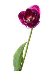 Single purple tulip isolated on a white background