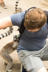 Young european tourist man spending time with funny courious Lemur Katta during visit at zoo, safari park in Netherlands