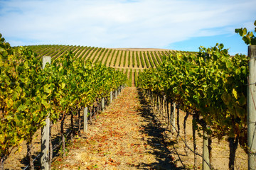 Wall Murals Vineyard Rural landscape with vineyard and blue sky