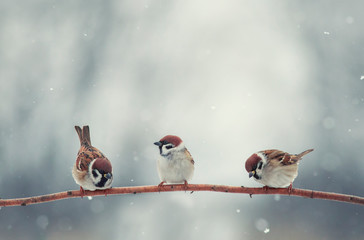 Wall Mural - natural background with three little funny little birds sitting on a branch in the winter garden under the snow